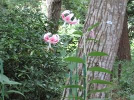 カノコユリ 花の姿