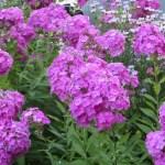 クサキョウチクトウ 花の姿