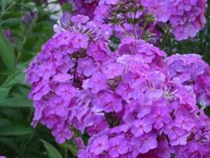 クサキョウチクトウ 密集して咲く花の様子