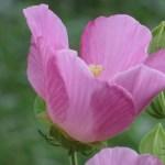 フヨウ 花のアップ(横顔)