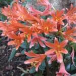 キツネノカミソリ 満開の花の姿