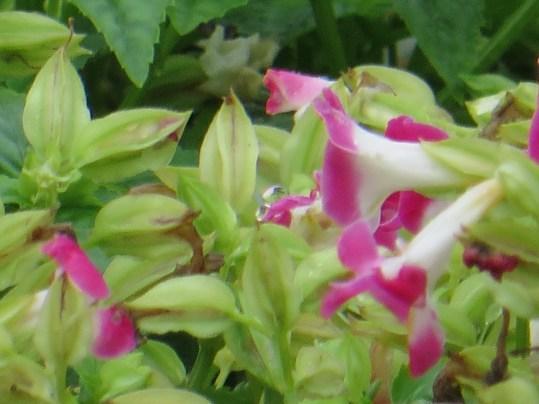 ハナウリクサ ピンク色 花のアップ
