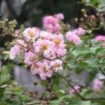 ベトナムのサルスベリ 花のアップ
