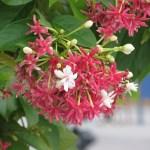 シクンシ 花のアップ