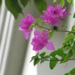 ブーゲンビリア 花の様子