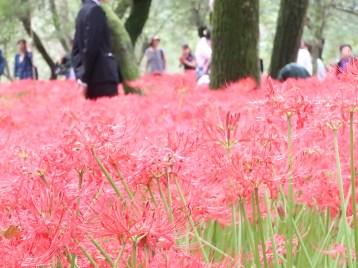 ヒガンバナ 花の様子