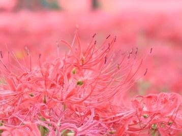 ヒガンバナ 花のアップ