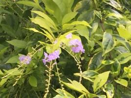 タイワンレンギョウ  薄めの紫の花