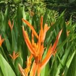 Heliconia psittacorum 花の様子(アップ)