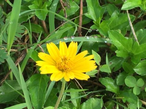 アメリカハマグルマ 花の様子