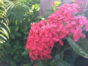 サンタンカ 花の様子