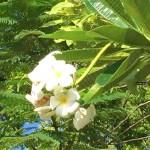 プルメリア 花の様子