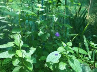 ホナガソウ 花のついている植物の様子