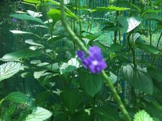 ホナガソウ 花の様子