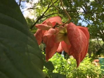 ムッサエンダ・フィリピカ 花の様子