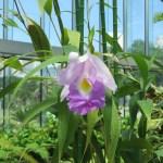 カトレア 薄紫色の花