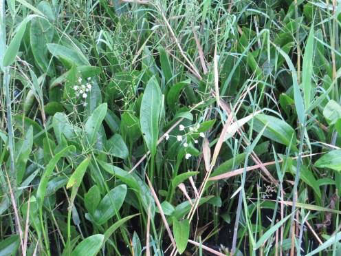 ヘラオモダカ 花の咲いている植物の様子
