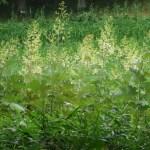 タケニグサ 花の咲いている植物の様子