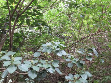 カクレミノ 花(つぼみ)のついている木の姿