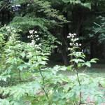 ウド 花の咲いている様子