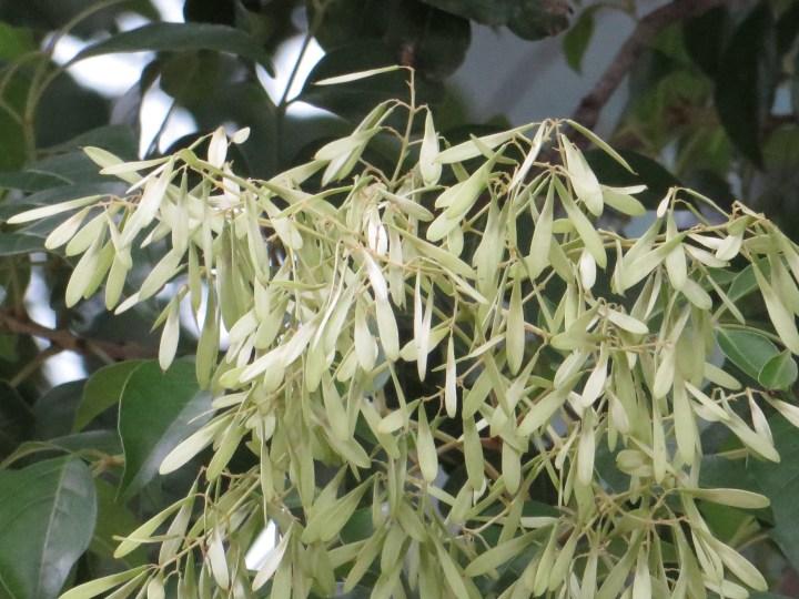 シマトネリコ 花のアップ