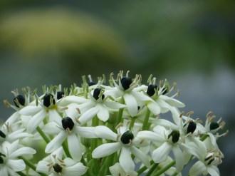 オルニソガラム 花のアップ