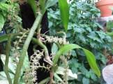 Tridactyle tridactylites トリダクティレ・トリダクティリテス 植物の姿