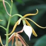 エピデンドラム Epi brassavolae 花のアップ