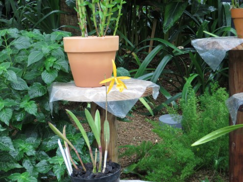ブラソレリア Brassolaelia Richard Muller 植物の姿