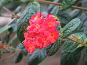 ベニマツリ 花の姿