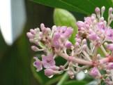 サンゴノボタン 若い花のアップ