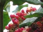 Hawaiian Holly/ リーア・コッキネア