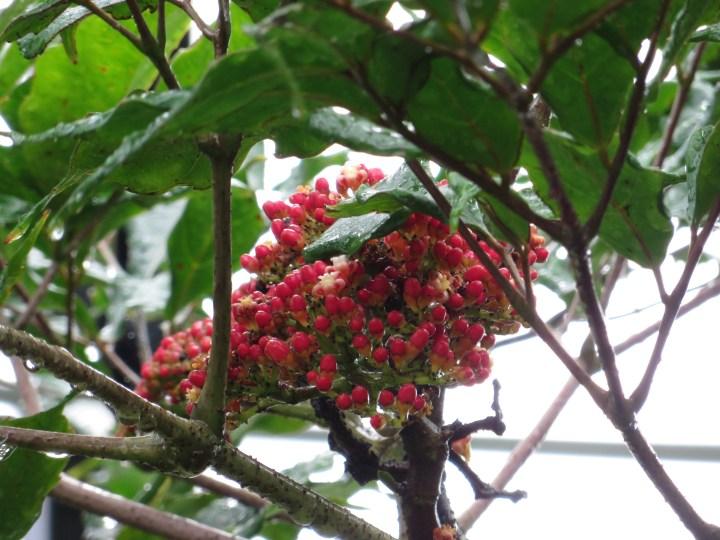 リーア・コッキネア 花の咲いている様子