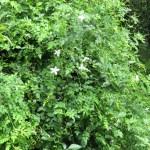 ソケイ 花の咲いている様子