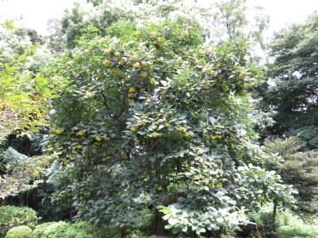 マルバチシャノキ 実のなっている木の様子