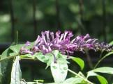 Weeping Butterfly Bush トウフジウツギ