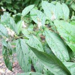シモバシラ 植物の様子