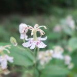 Speckled toad lily ヤマホトトギス
