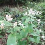 ヤマホトトギス 花の咲いている植物の姿