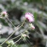 アザミ タイアザミの花のアップ