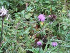 アザミ ノハラアザミの花