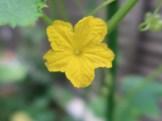 キュウリ  花のアップ(雄花)