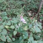 アキチョウジ 花の姿