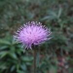 アザミ ノハラアザミの花のアップ
