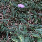 アザミ ノハラアザミの花の様子