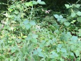ヤブマメ 花の咲いている植物の様子