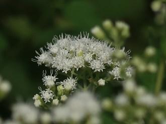 マルバフジバカマ 花の様子