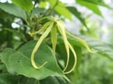 チャボイランイランノキ 花の姿