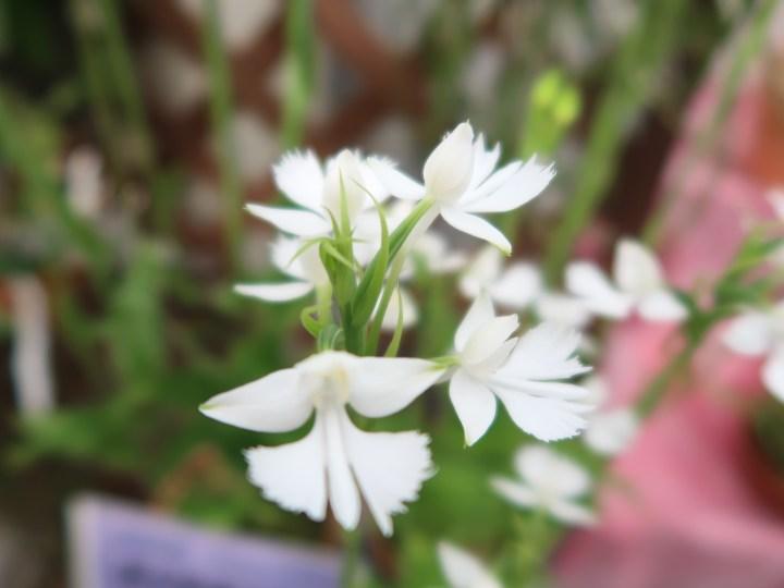 ダイサギソウ 花の姿