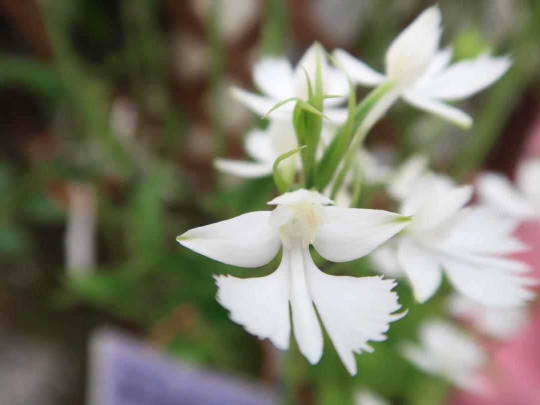ダイサギソウ 花のアップ